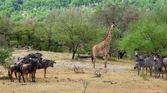 Selous: Die einmalige Tierwelt wird durch Uran-Bergbau gefährdet. Foto: igougo.com